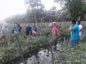 Penanaman cabe merah oleh petani di Taraban Larangan Pamekasan Madura