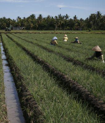 Berita Pertanian Indonesia Suarapetanicom